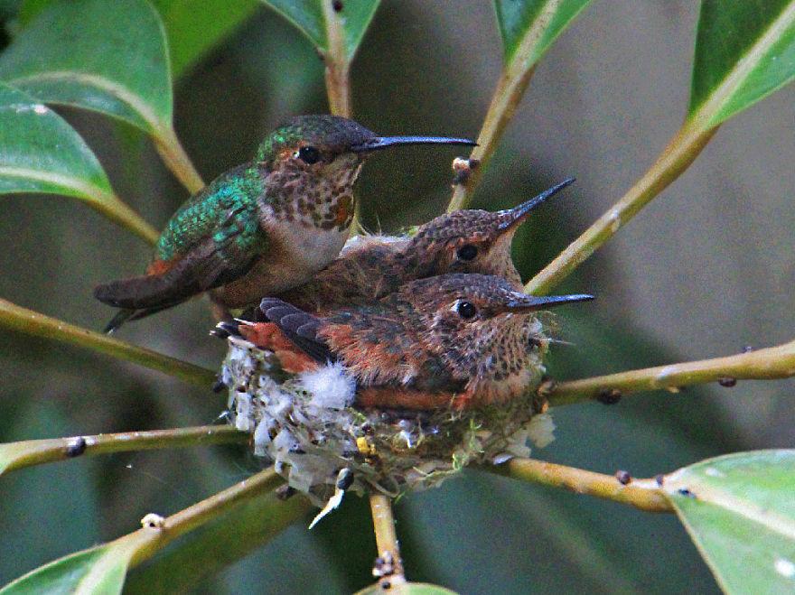Колибри и птенцы mamaclub