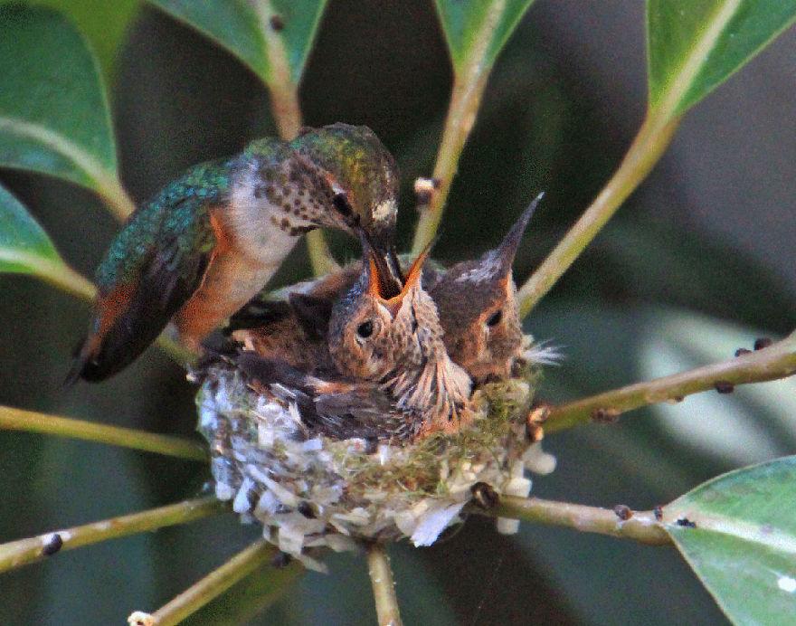 Колибри кормит птенцов mamaclub