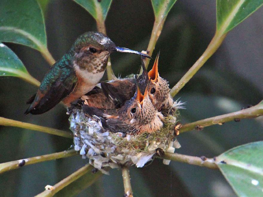 Колибри кормит птенцов mamaclub.ru
