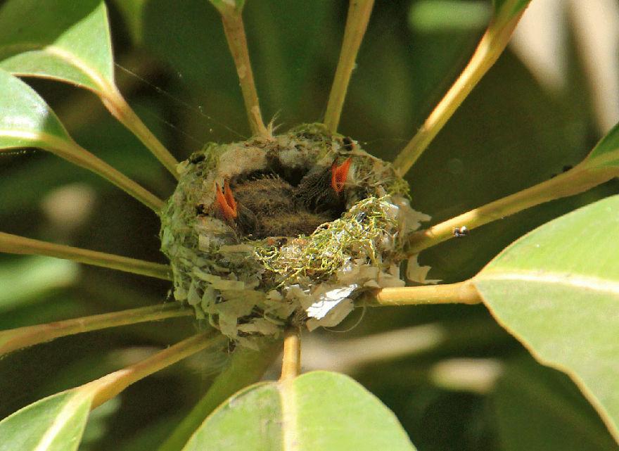 мама Колибри растит двух младенцев с оранжевыми клювами
