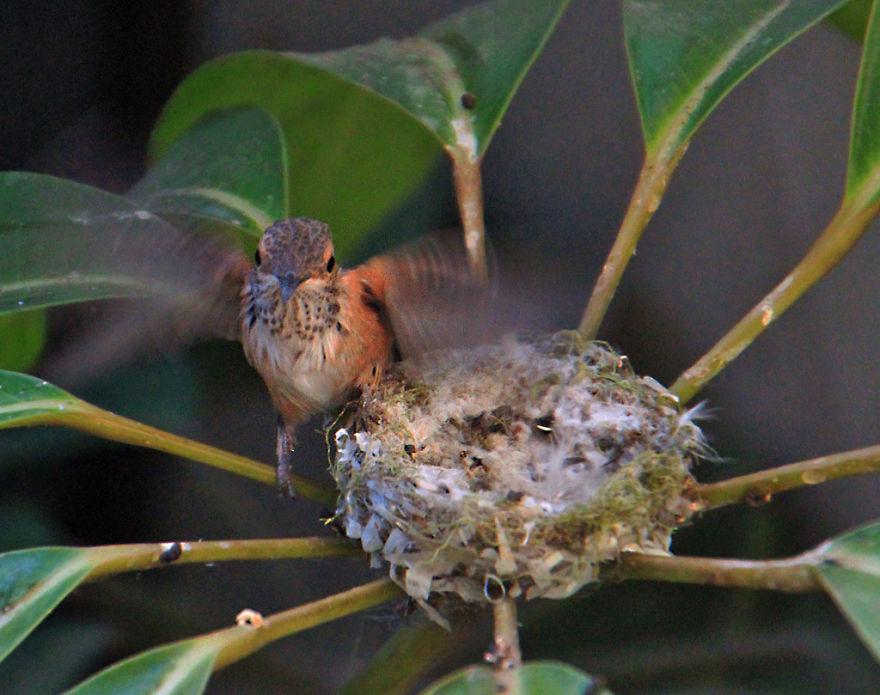птенец колибри покидает гнезд mamaclub.ru