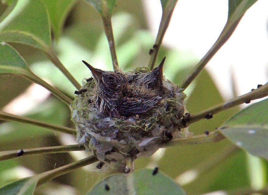птенцы Колибри mamaclub