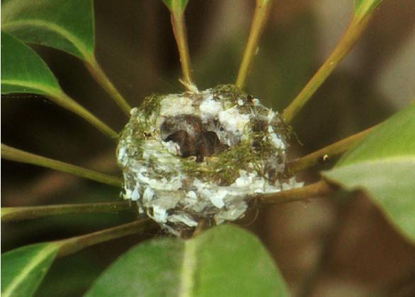 новорожденные птицы Колибри серенькие комочки