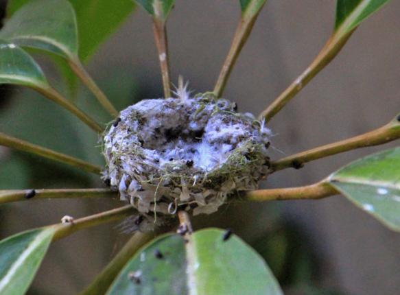 пустое гнездо колибри mamaclub.ru
